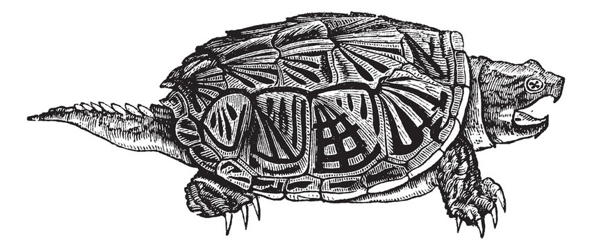 Snapping Turtle (Chelydra serpentina), vintage engraving.