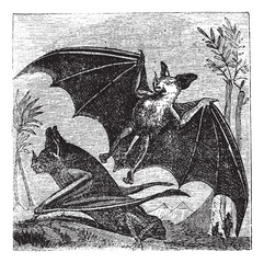 Spectral Bat or Vampyrum spectrum, vintage engraving