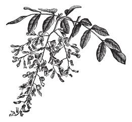 American Yellowwood or Cladrastis kentukea, vintage engraving