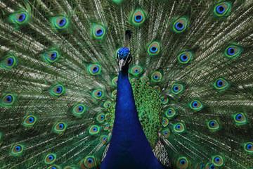 very nice peacock