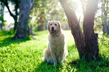 Golden retriever sitting on grass under tree