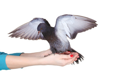 beautiful gray pigeon in hands isolated on white