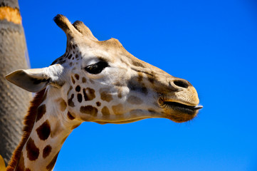 Giraffe With His Tongue Sticking Out