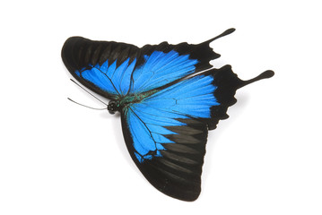 Ulysses Butterfly flying on a white background.