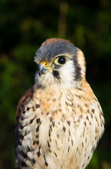 American Kestrel close-up (portrait)