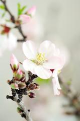 almonds blossom