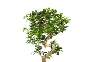 Myrtus tree