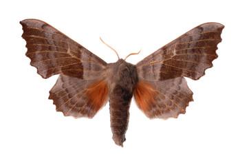 The Poplar Hawk-moth (Laothoe populi)