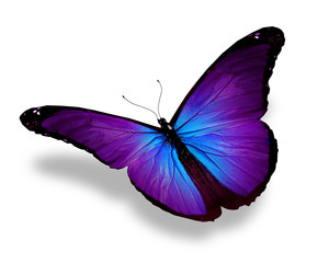 Violet butterfly, isolated on white