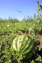 Watermelon plantation