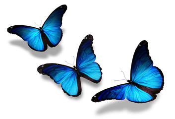 Three blue butterflies flying, isolated on white