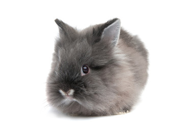 Small black bunny isolated on white background
