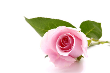Laying down Pink rose over white