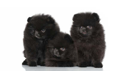 Spitz dog puppies on a white background