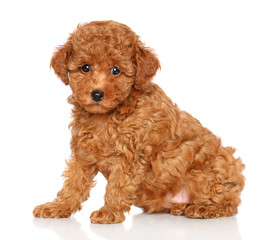 Wall Mural - Poodle puppy on a white background