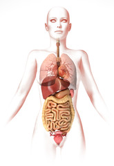 Woman body, with interior organs. Anatomy image, stylized look.