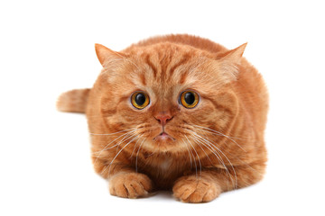 red cat Persian breed lies on a white background