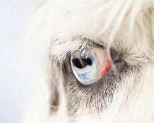 Eye of A Blue Eyed Llama Close Up