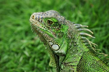 Green iguan in Ecuador