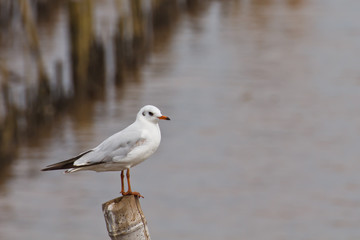 Seagull on the bamboo stick