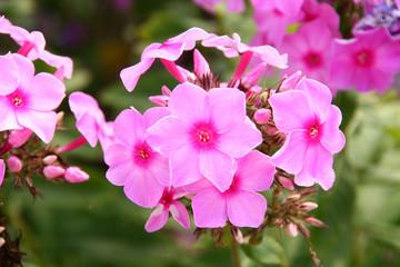 phlox drummondii flowers in the wild