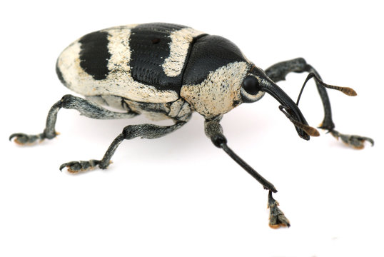 weevil on the white paper