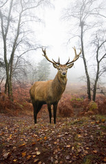 Fotobehang Bos in mist Red deer stag in foggy misty Autumn forest landscape at dawn