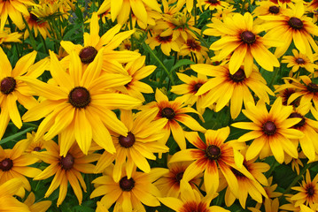 Bed of perfect yellow gerbera's in full blossom