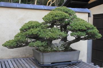 盆栽 双幹