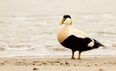 A common eider is walking on the beach