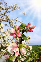 Wall Mural - Apple Blossom