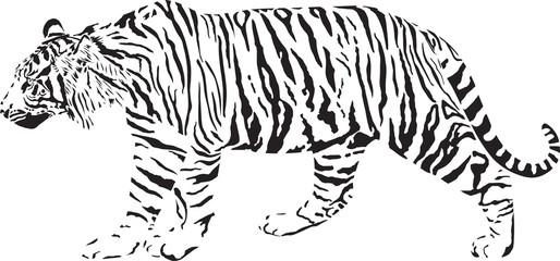 Tiger - Black and white vector illustration
