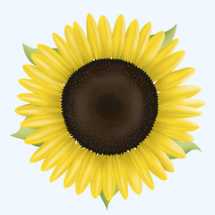 Sunflower–Autumn Sun. Vector illustration