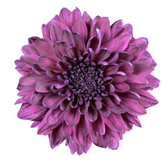 Fotorolgordijn Dahlia Purple Chrysanthemum Flower Isolated on White