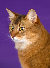 Somali cat head on purple background