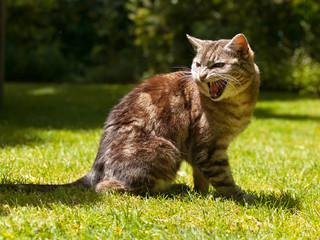 yelling cat