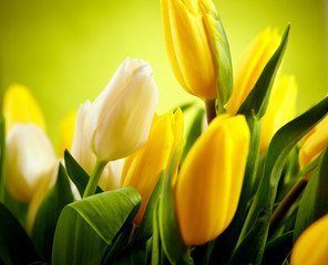 Fototapete - Yellow and white  tulip flowers with green  copy space