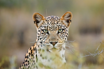 Photo sur Plexiglas Leopard Leopard portrait, Kalahari desert, South Africa