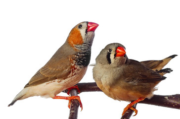 two zebra finch birds