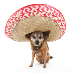 chihuahua with a sombrero