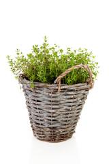 Fresh oregano herb in bucket