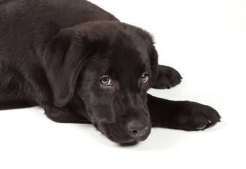 Fotobehang - Black-Chocolate Labrador Retriever Puppy