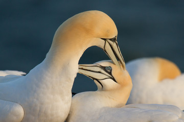 Couple of gannets