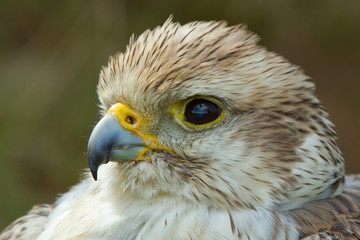 A close-up of a falcon