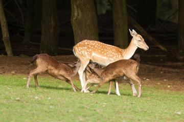 A fallow-deer is feeding