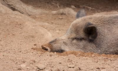 A wild boar is resting