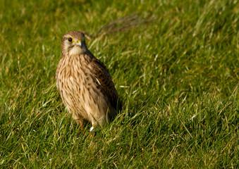 A falcon in a green field