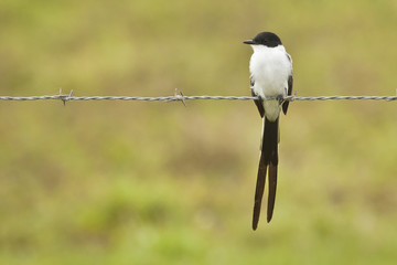 Fork-tailed Flcatcher