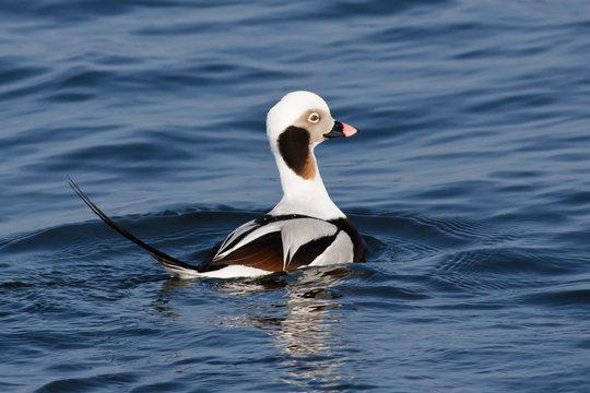 Long-tailed Duck (Clangula hyemalis) ♂