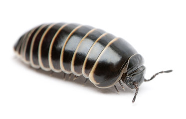 Glomeris marginata. Is a common European species of pill millipe